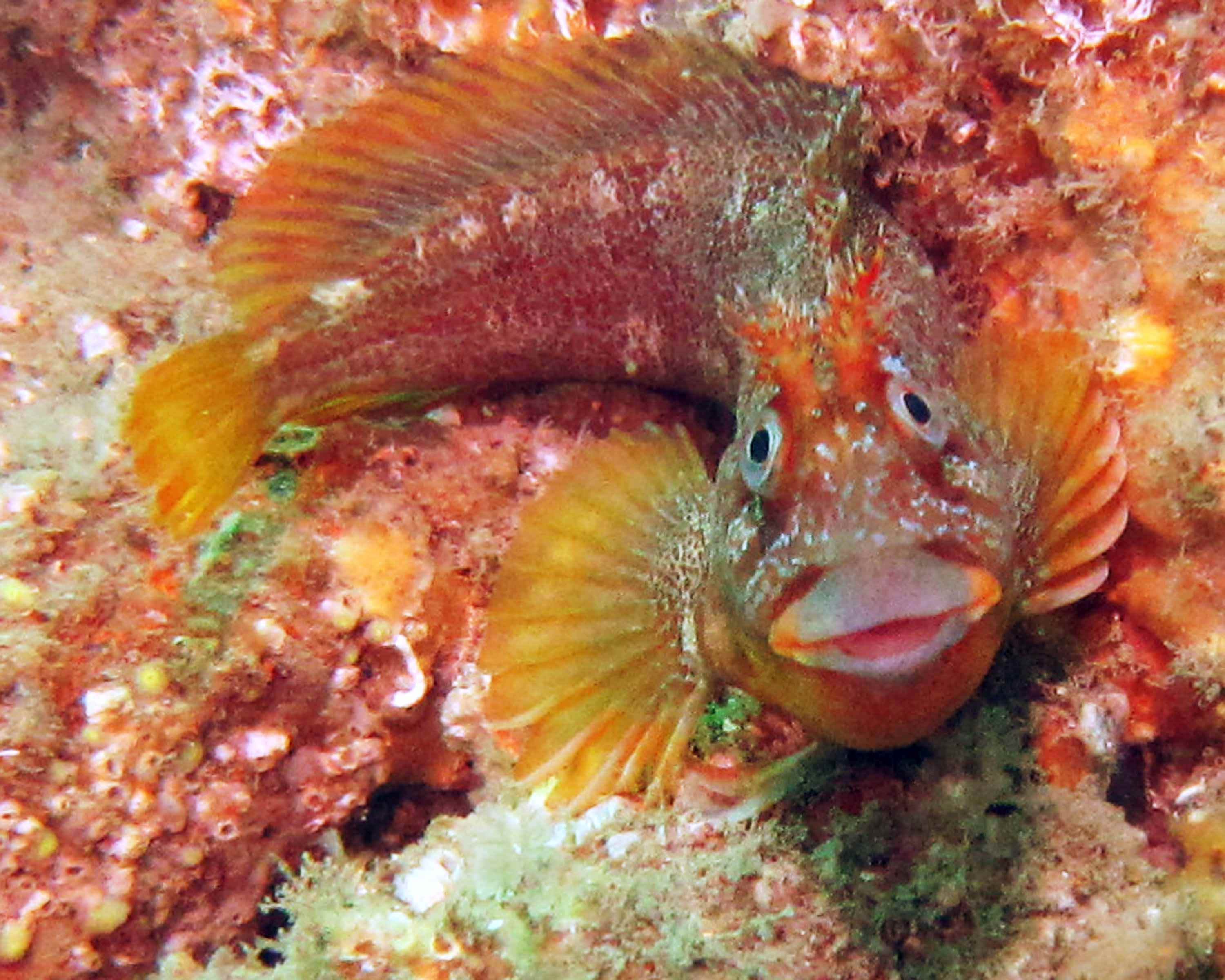Tompot Blenny small